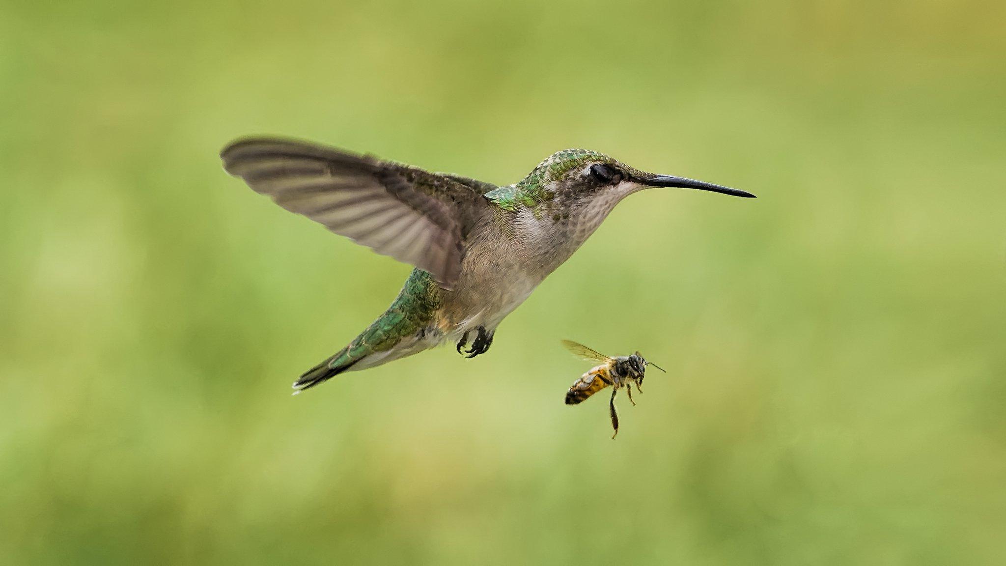 Bee hummingbird flying - photo#10