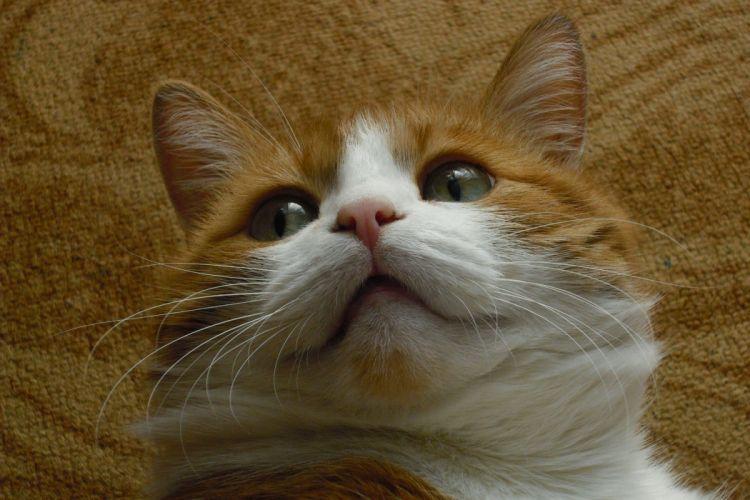 cat red pug wallpaper
