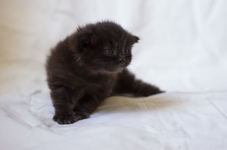 cat kitten Mike Farley cute small chocolate fluffy important wallpaper