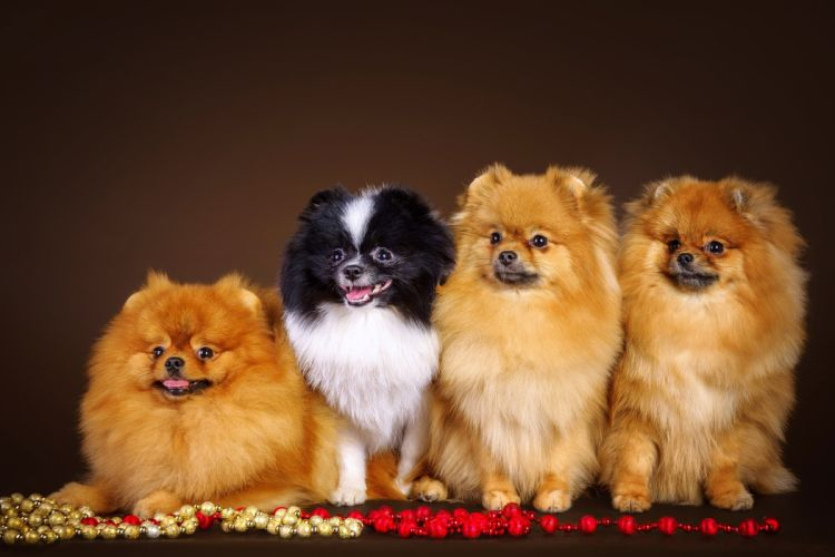 Dogs 4 Spitz Animals wallpaper