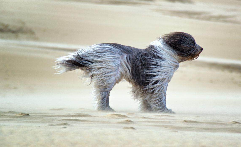 dog sands wind wallpaper