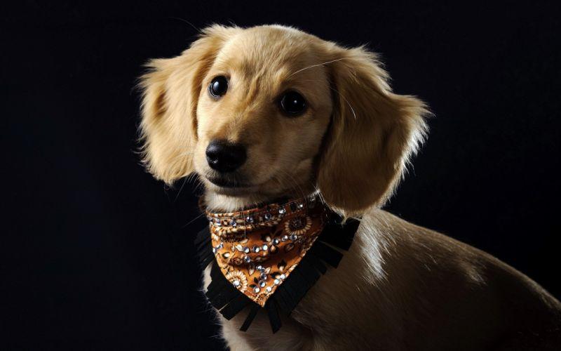dog collar wallpaper
