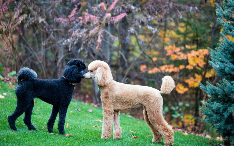 Dogs Poodle Two Animals wallpaper