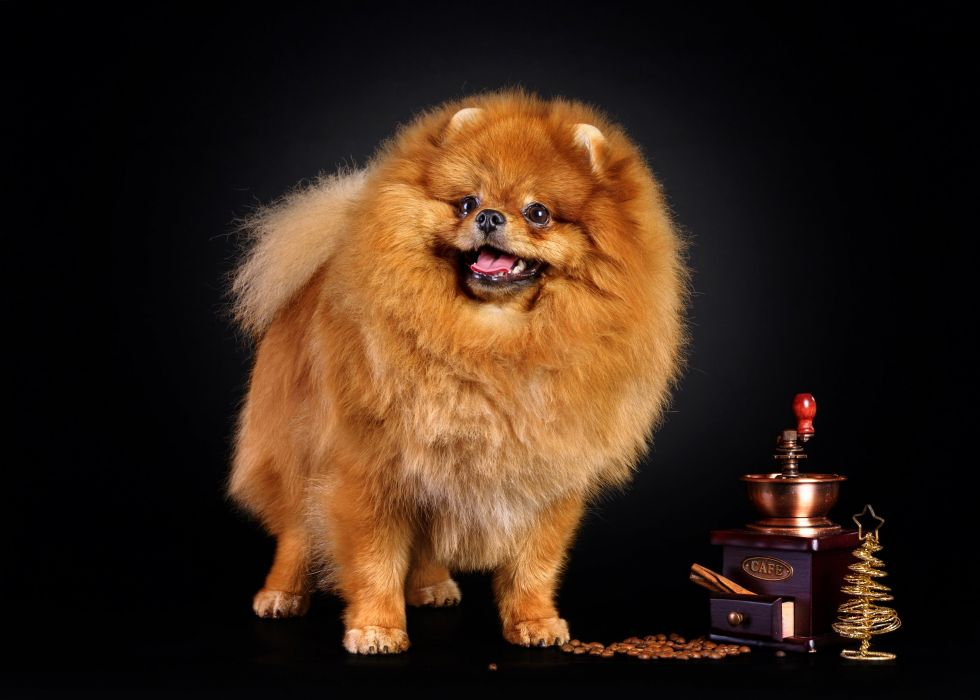 Dogs Coffee Spitz Ginger color Animals wallpaper