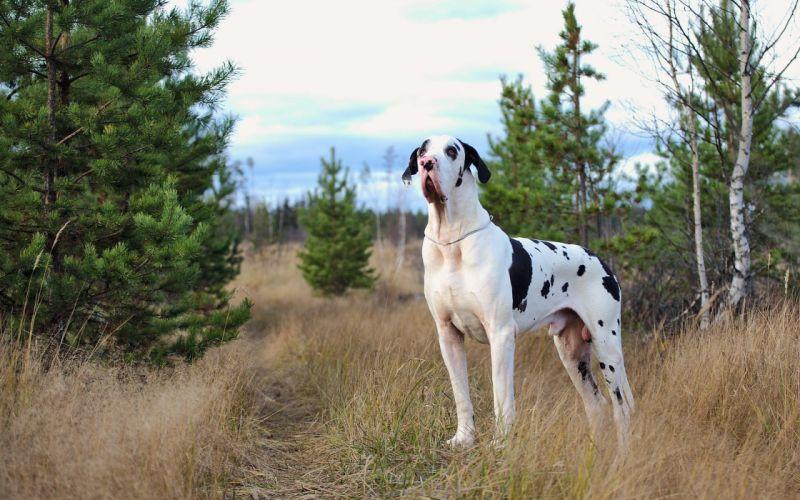 Dogs harlequin Great Dane Grass Animals wallpaper