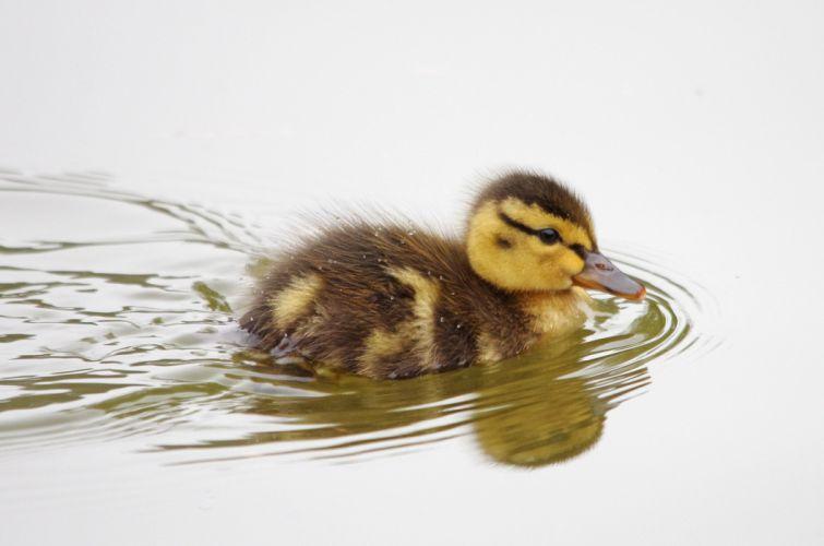 duckling bird duck baby swimming wallpaper