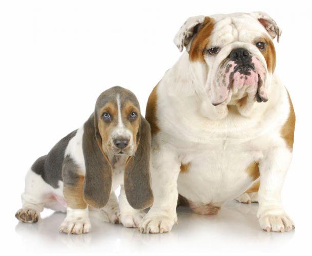 Dogs Two Bulldog Basset Hound Animals wallpaper