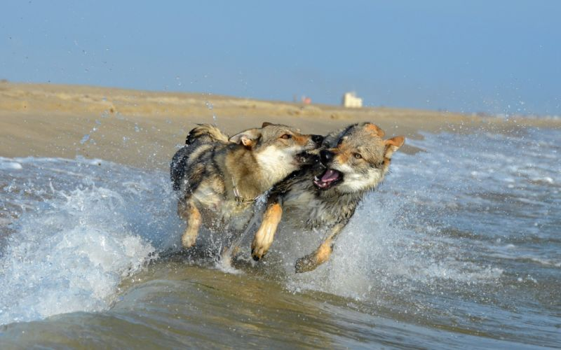 Dogs Sea Coast Czechoslovakian Wolfdogs Two Run Spray Animals wallpaper