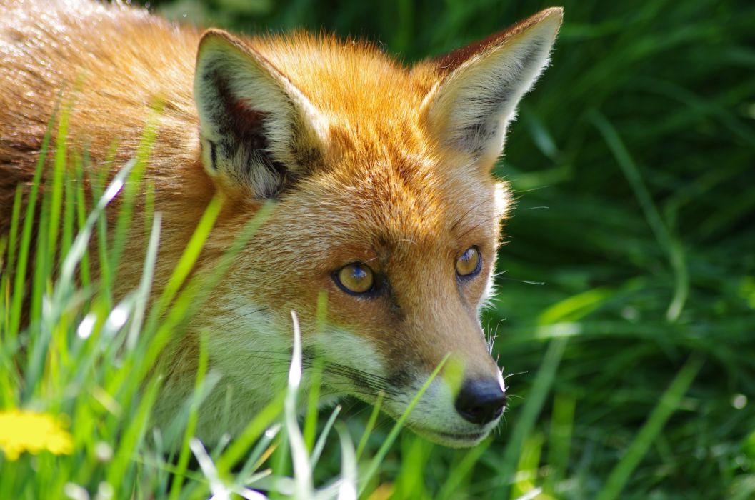 fox animal grass wallpaper