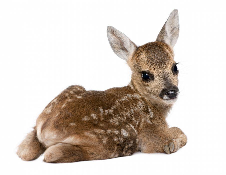 fawn baby snout spot light background deer wallpaper