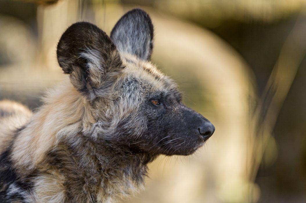 gienovidnaya dog predator face profile wallpaper