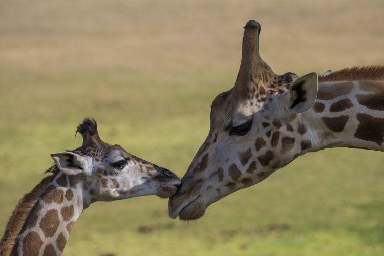 Giraffe baby e wallpaper