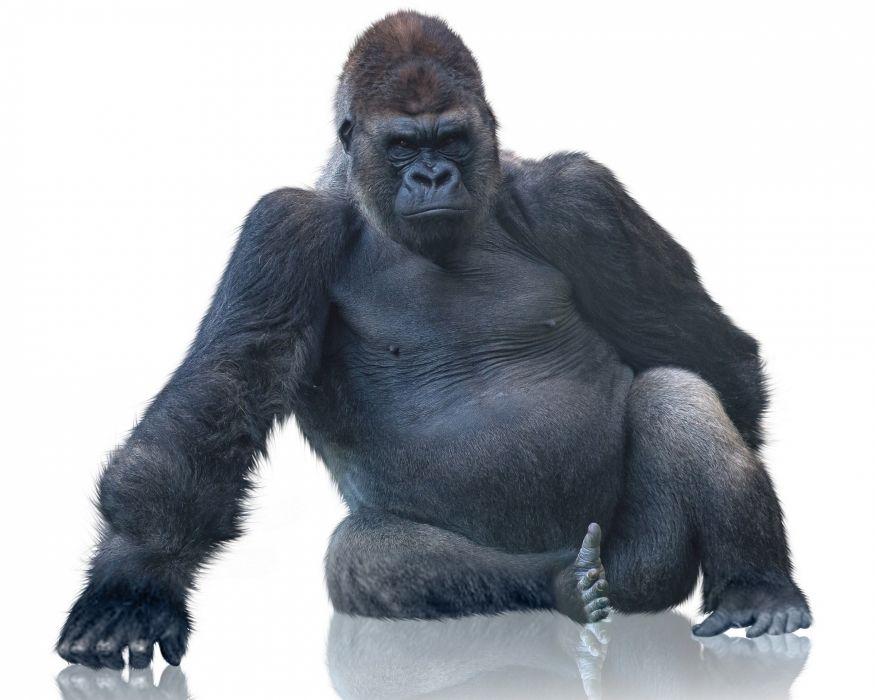 gorilla monkey wallpaper