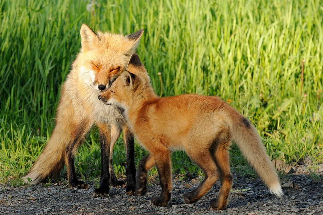 Foxes Two Grass Animals fox wallpaper