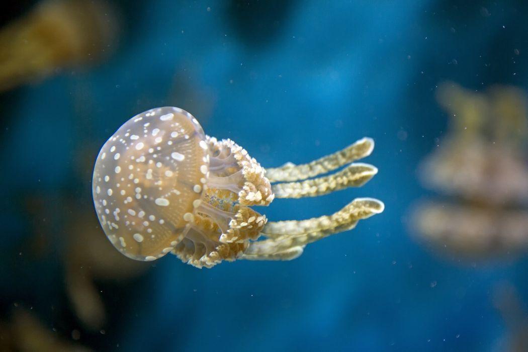 jellyfish underwater water macro  g wallpaper