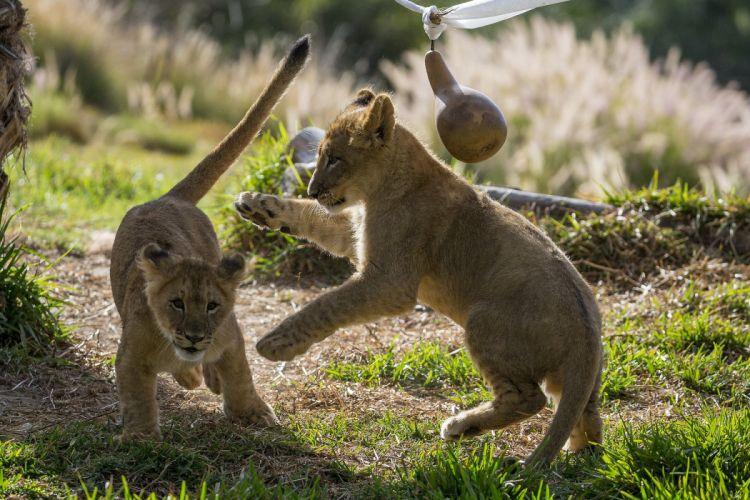 Lion Cubs f wallpaper