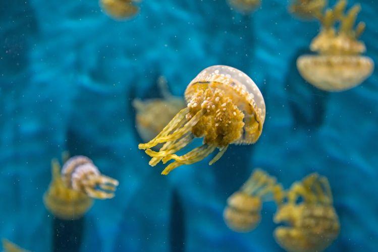 jellyfish underwater water macro wallpaper