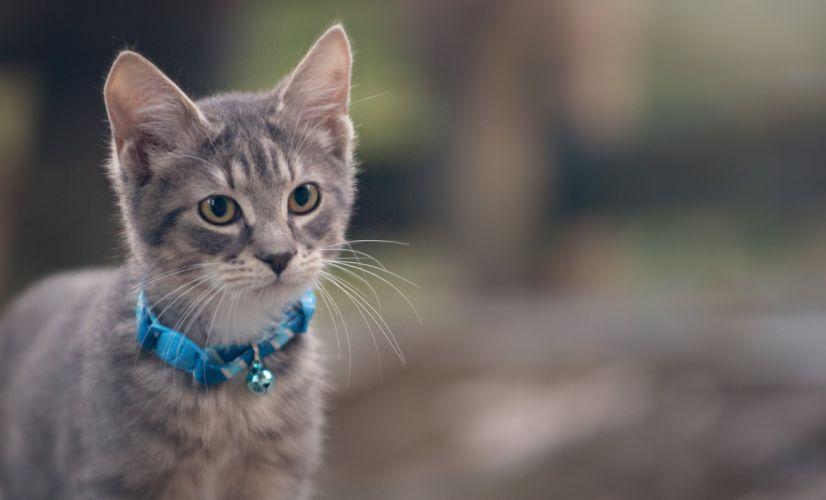 kitten gray collar cat wallpaper