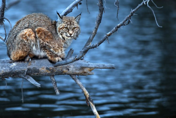lynx a predator branches water wood wallpaper