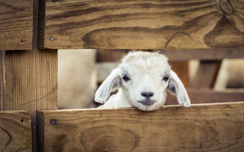 Other Pets sheep Animals lamb baby wallpaper