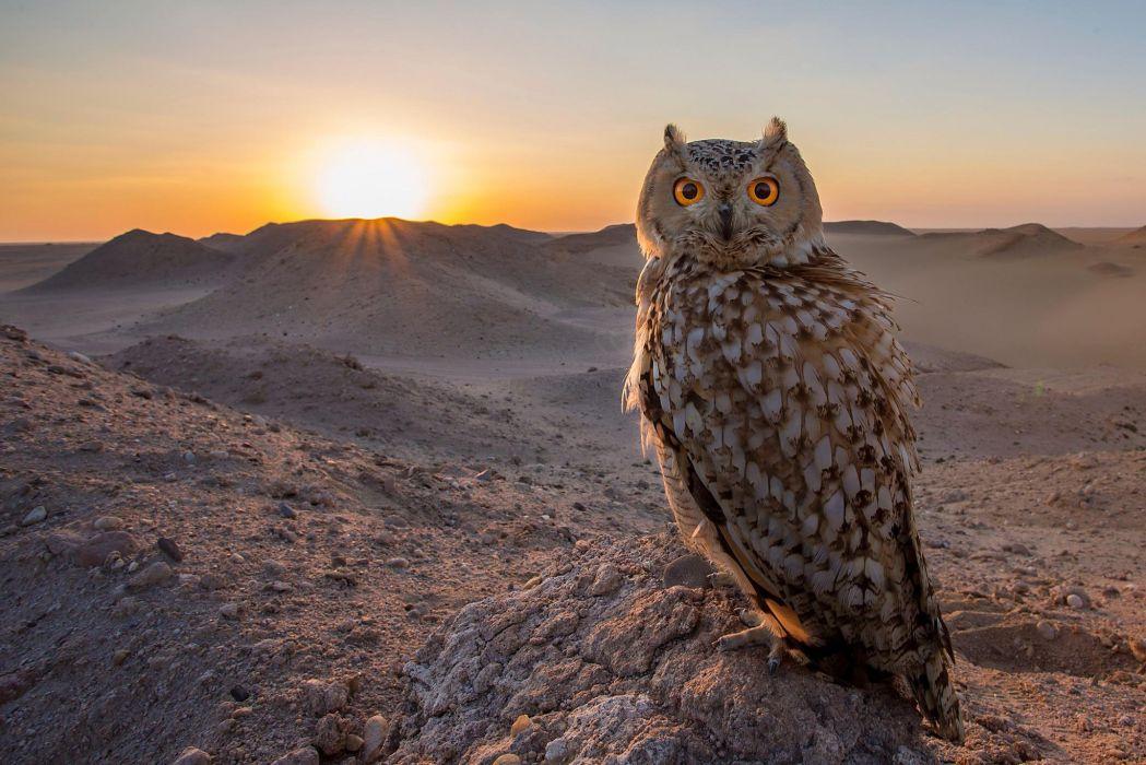 owl bird sunset wallpaper