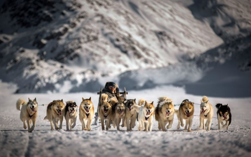 sled snow dogs wallpaper