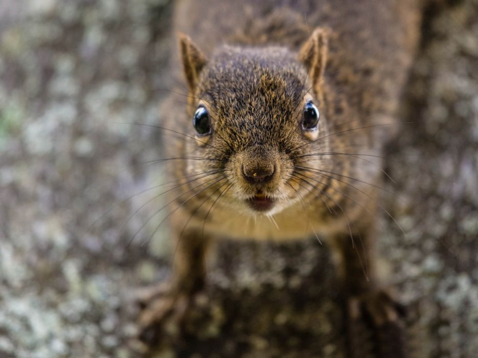 Rodents Squirrel Glance Whiskers Animals wallpaper