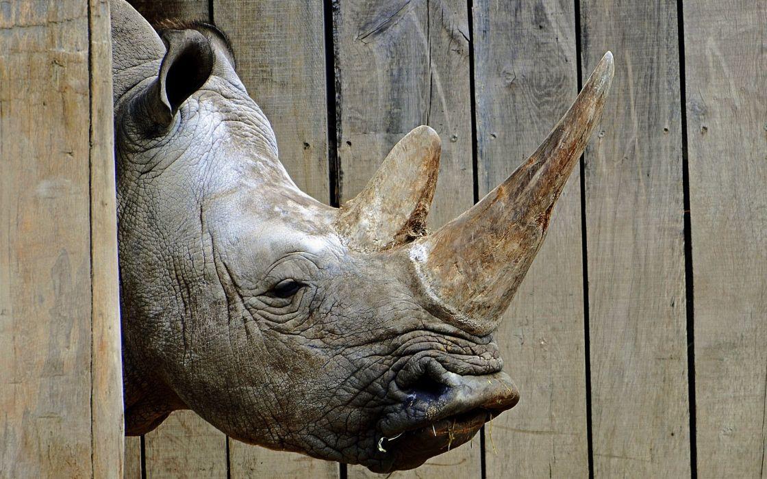Rhinoceros Head Animals rhino wallpaper