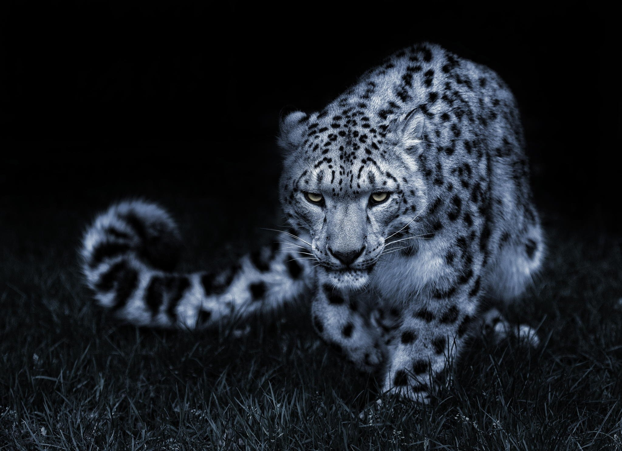 Snow Leopard Black And White Posture Eyes Cat Wallpaper 2048x1484 348888 Wallpaperup