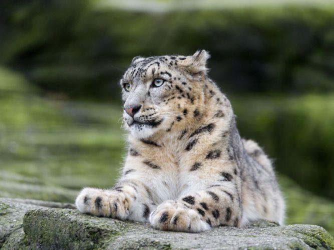 snow leopard wild cat predator vacation stone wallpaper