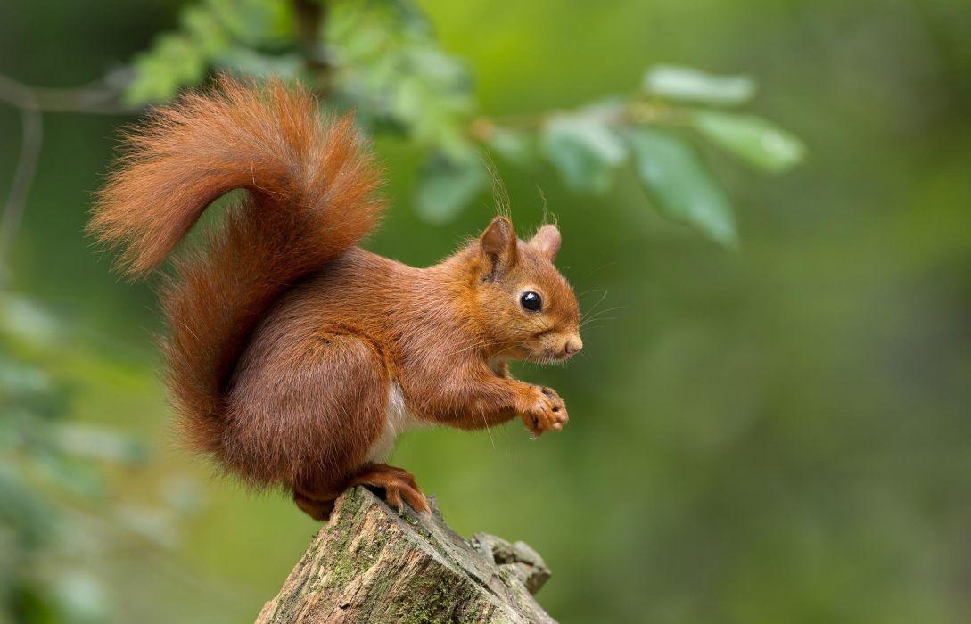 squirrel      g wallpaper