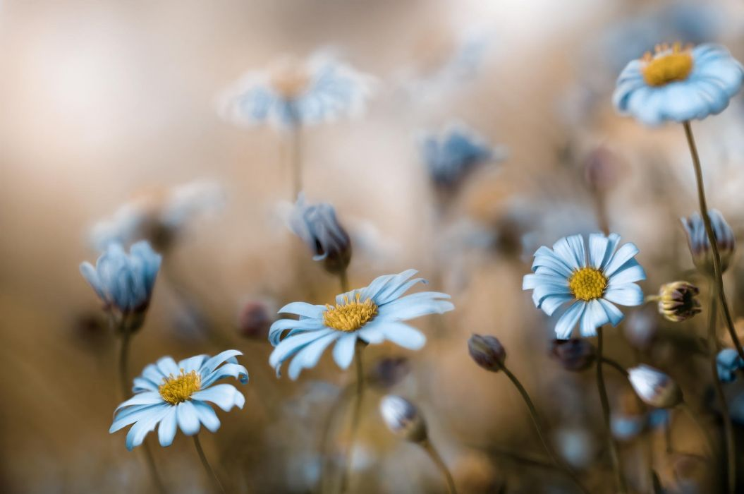 nature flowers daisy beauty bloom wallpaper
