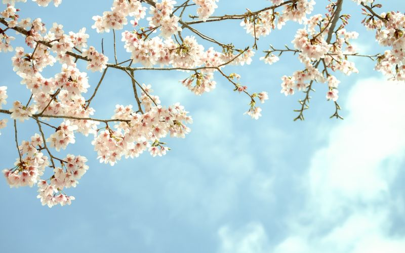 flowers blooms branches tree wallpaper