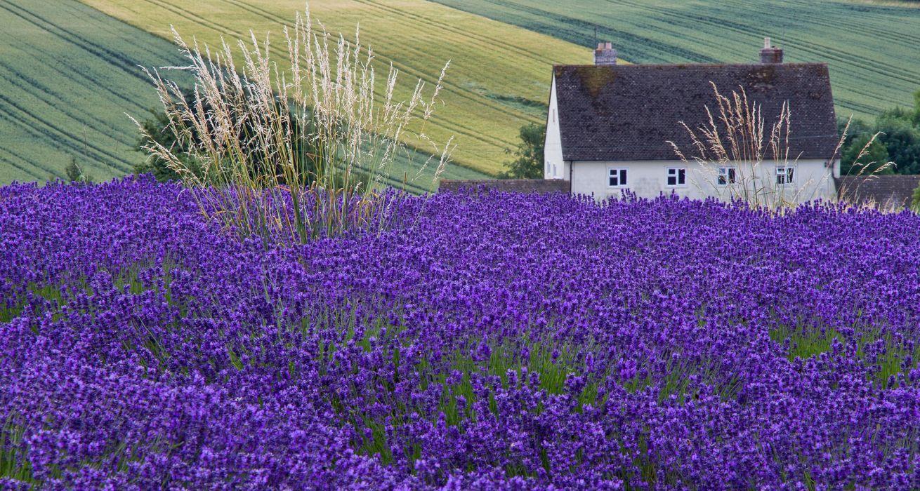 house lavender field ears wallpaper