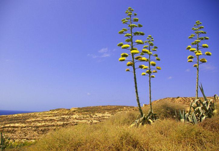 Agave americana plant in Dwejra Gozo Malta wallpaper