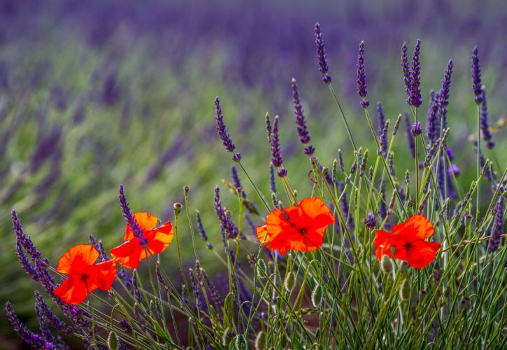 nature lavender field poppies wallpaper