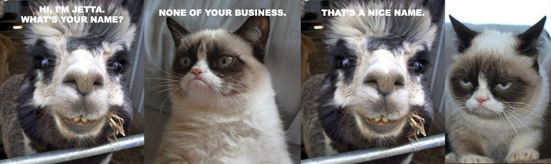 cat meme quote funny humor grumpy (2) wallpaper