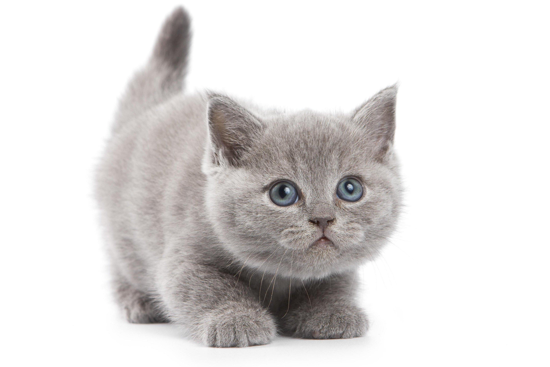 Cat kitten gray wallpa...