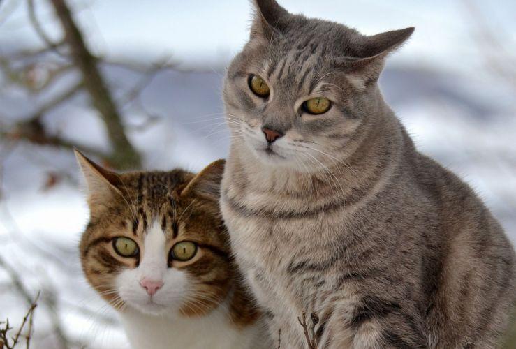 cat cats snow two walk wallpaper