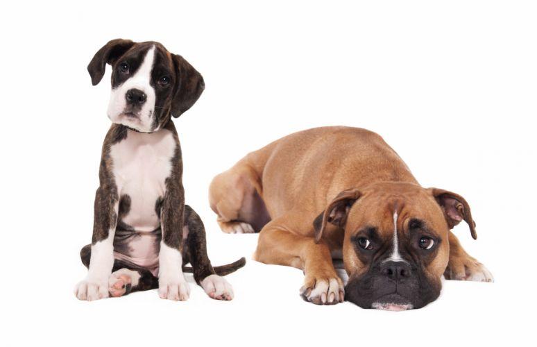 dog puppy boxer wallpaper