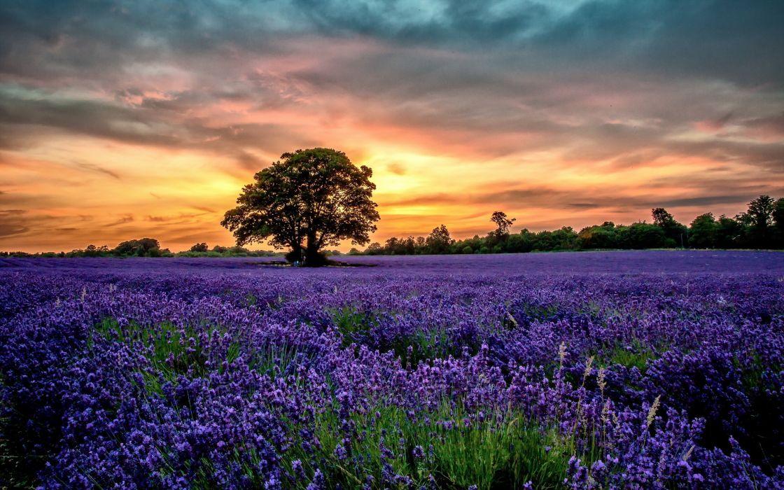 flowers sunset field lavender scenery wallpaper