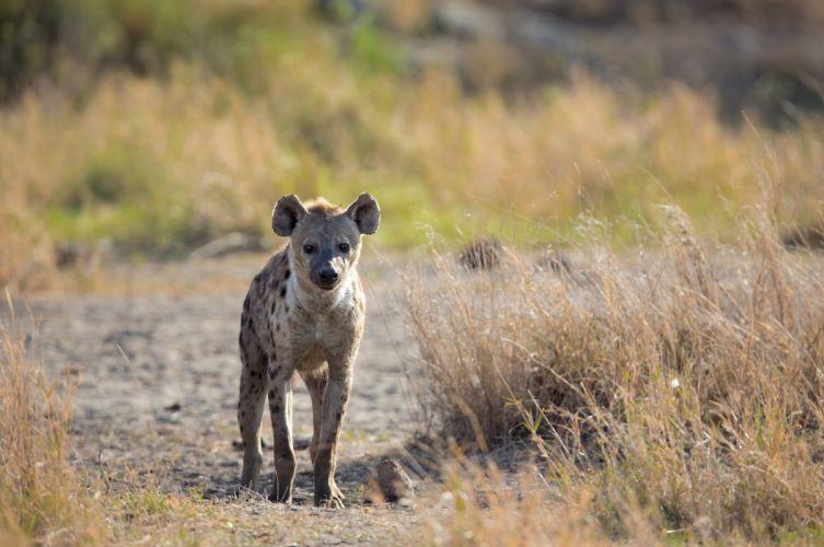 hyena predator snout wallpaper