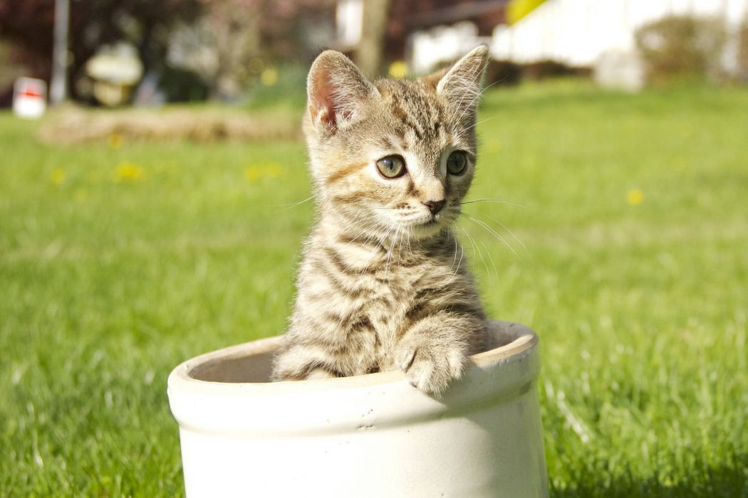 Kitten gray tabby lawn wallpaper