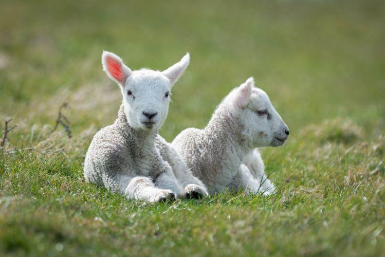 lie two sheep white lamb wallpaper