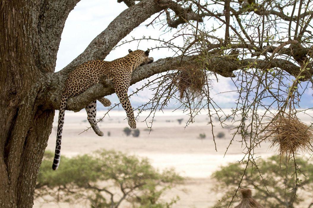 leopard wild cat predator tree vacation wallpaper