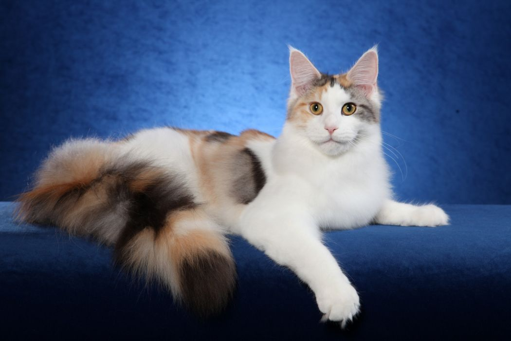 Maine Coon wallpaper