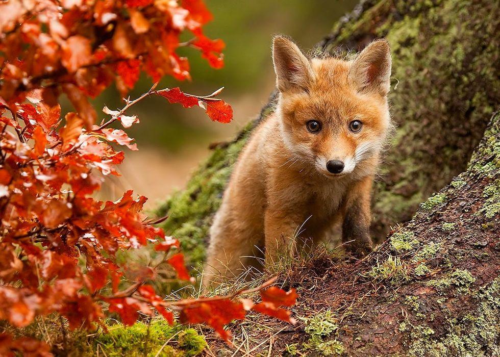 nature fox fall leaves posture eyes wallpaper