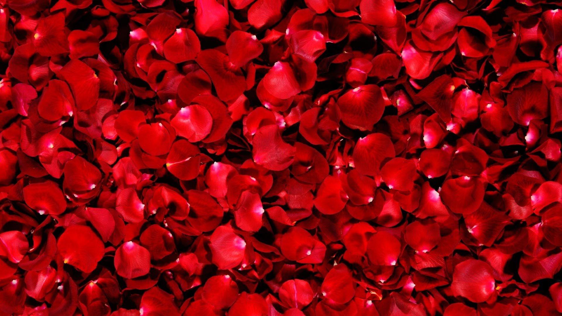 Petals beautiful roses petals red macro wallpaper - Red rose petals wallpaper ...