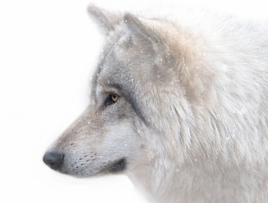 predator the wolf the muzzle wallpaper