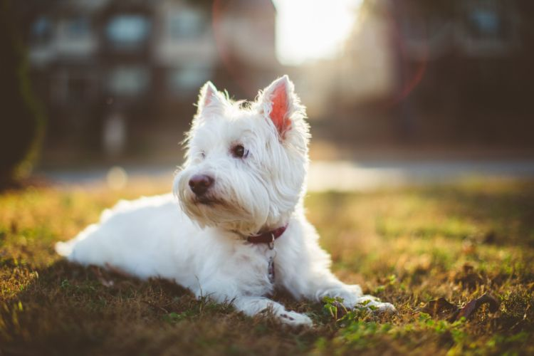 shaggy white dog wallpaper